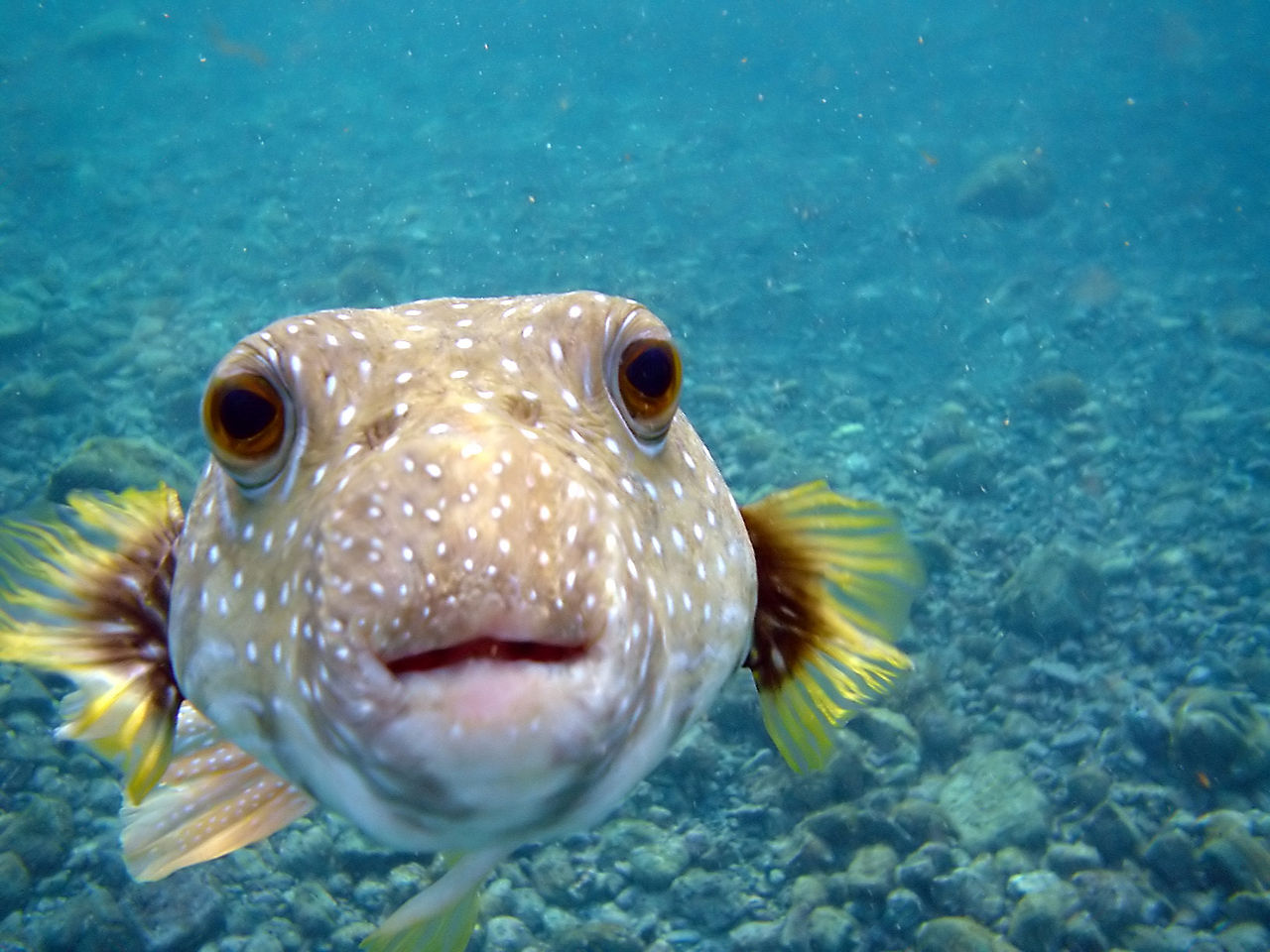 1280px-Arothron_hispidus_is_kissing_my_camera_at_Big_Island_of_Hawaii